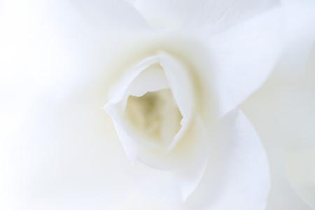 Japans Camellia flower