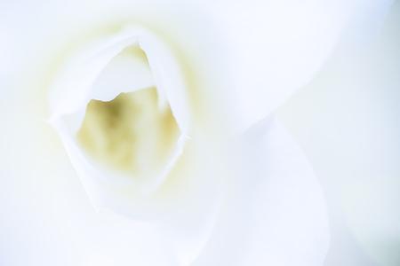 Japan's Camellia flower
