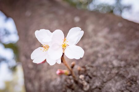 Cherry blossoms blooming on the trunk of a tree 版權商用圖片