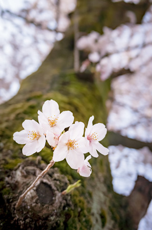 Cherry blossoms which bloom in the trunk