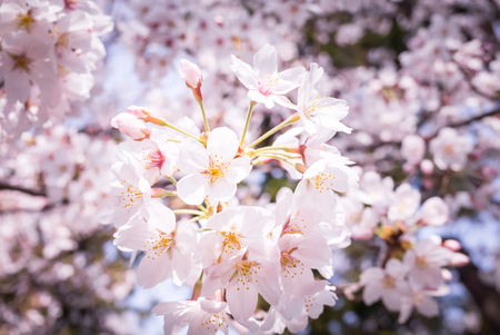 The cherry trees in full bloom