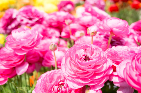 Ranunculus flower beds in bloom flowers