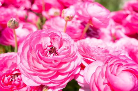 Ranunculus flower beds in bloom flowers