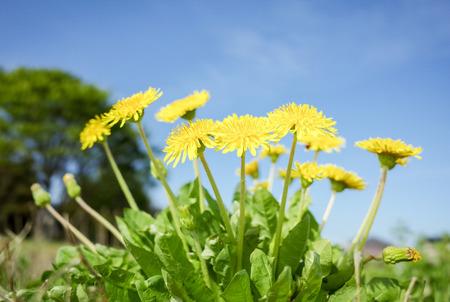 Under the blue sky dandelion flowers
