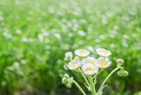Philadelphia Fleabane and fresh flowers