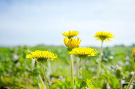 Sunny dandelion flowers