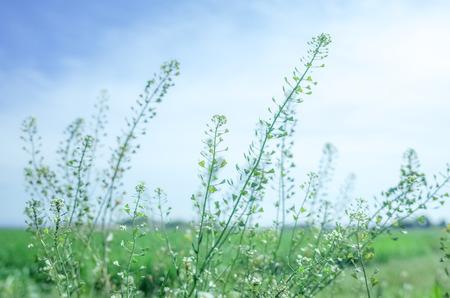 Japans wild flowers, capsella Bursa-pastoris