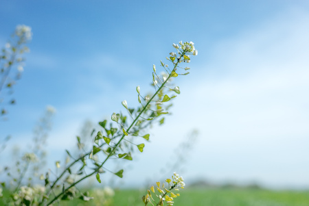 Japan's wild flowers, capsella Bursa-pastoris