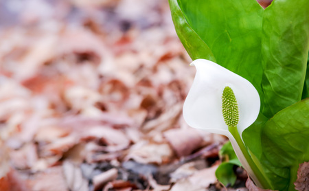 Neat and clean Skunk cabbage flowers