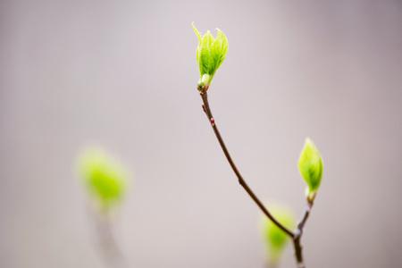 Bright green buds 版權商用圖片
