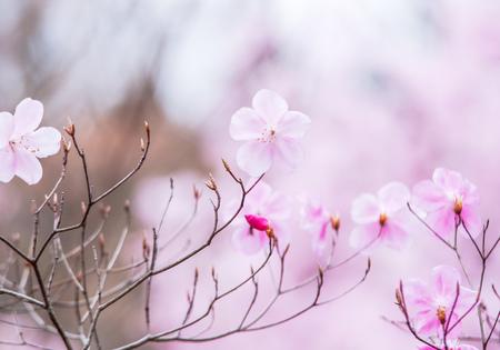 Flowers bloom in Japan yashiotstuji 版權商用圖片