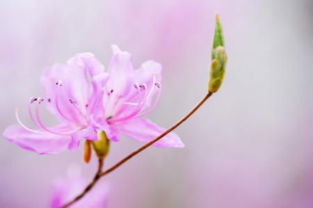 Japan azalea flowers 版權商用圖片