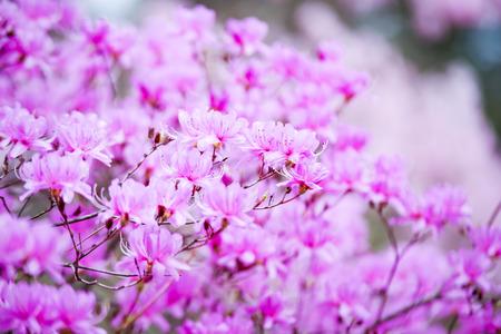 Japan azalea flowers 版權商用圖片 - 121789879
