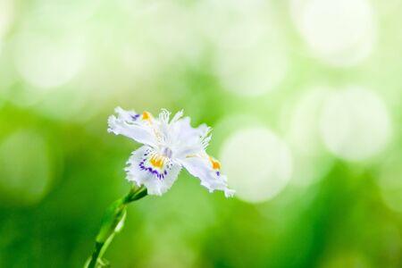 Wild Iris Flowers in Japan 版權商用圖片 - 131896251
