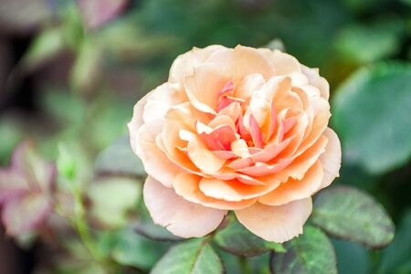 Orange Rose Flowers in Japan 版權商用圖片