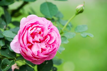 Pink rose flower in Japan