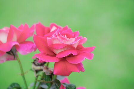 Red Roses flowers in Japan 版權商用圖片 - 131855671
