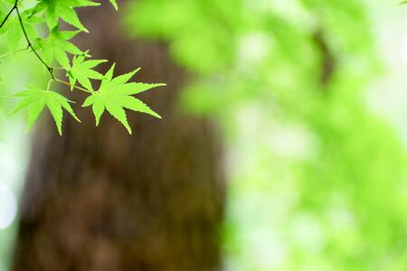 Fresh green maple leaves against the background of a large tree