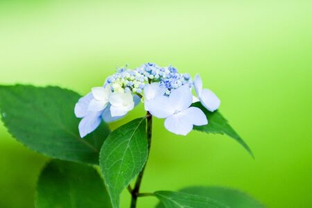 Blue hydrangea flowers blooming in early summer in Japan