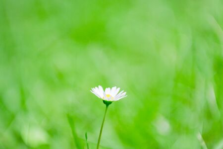 Little white flowers in the meadow