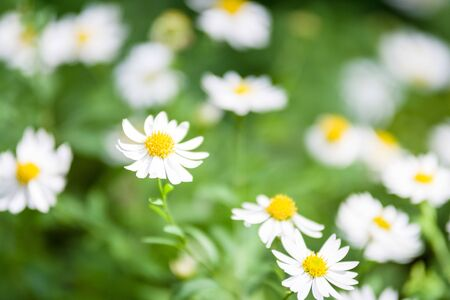 White daisy flowers on one side 版權商用圖片