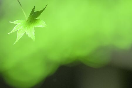 Calm green maple leaves