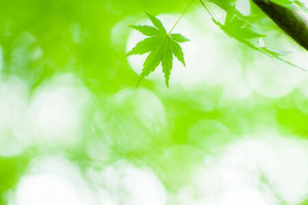 Fresh green maple leaves in a refreshing atmosphere 版權商用圖片