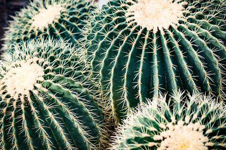 A large cactus 'golden fence' cluster