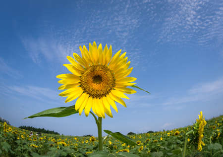 Sunflower flowers under the blue sky 版權商用圖片