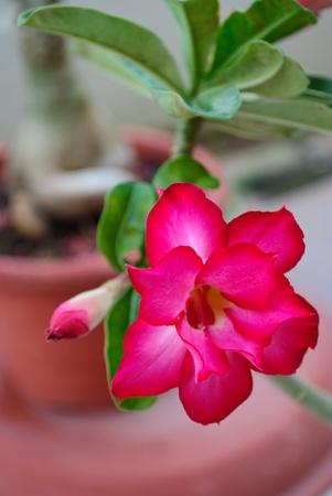 adenium: Rosy Adenium desert rose Stock Photo