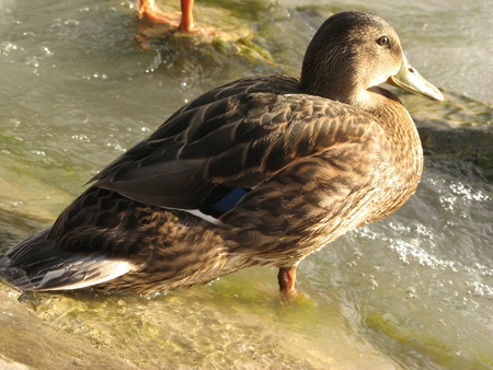 Duck in the waves of the lake Balaton (Hungary) photo