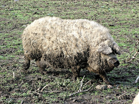 A very special kind of pig from Hungary (Mangalica) photo
