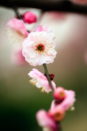 zinfandel: Sunny days plum blossom image