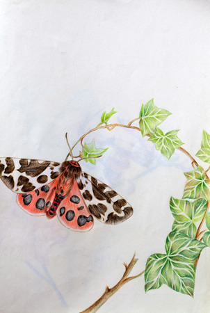 moth: hand drawn  Tiger moth