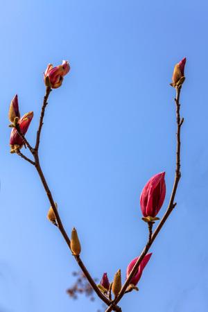magnolia flower Stock Photo