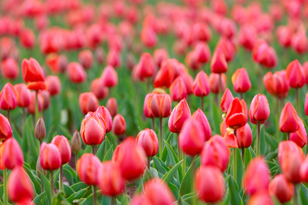 gules: Tulips flowers close-up Stock Photo
