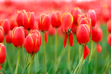 Tulips, flowers, red, close-up
