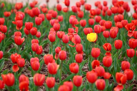 distinct: Tulips flowers