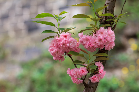 The cherry blossoms at spring Stock Photo