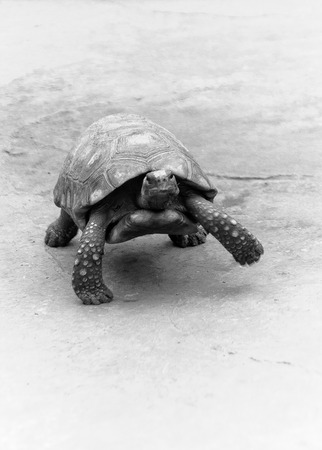 A walking tortoise photo