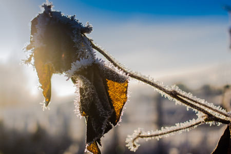 emphasized: The frost develops to the dead leaves on cold mornings. The veins of the leaf are beautifully emphasized by the sunlight.