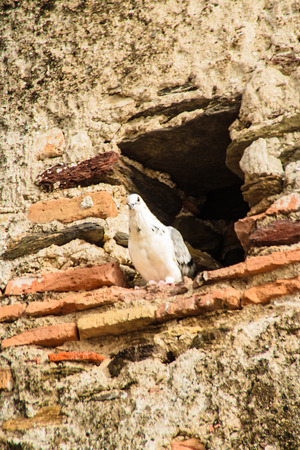pidgeon: A pidgeon was lurking from one of the holes of the castle wall in Fuengirola, Andalusia, Spain.