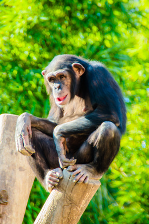 troglodytes: A chimpanzee posing to the tourists at the Bioparc zoo in Fuengirola, Spain. Stock Photo