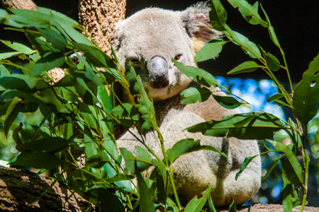 This habitat of the Alma Park Zoo posed for me eagerly. He seemed to be awake at the moment. The zoo is located in Queensland Australia.