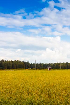 spelt: A beautiful golden field of spelt in the Northern Finland.
