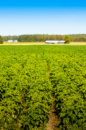 environment: The potato is ready to be harvested in the rural Finland.