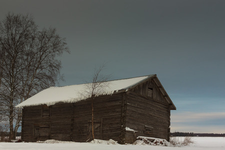 old barn in winter: A birch tree grows beside the old barn house in the rural Finland. The nature is taking the farm back. Stock Photo