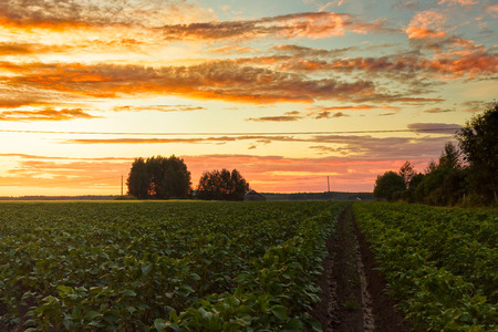 potato tree: The midsummer sun sets over the potato fields of the Northern Finland. The sun colors the clouds in different colors beautifully. Stock Photo