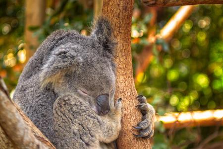 sedentario: Un koala mucho sueño en el zoológico de Queensland, en Australia. Estos animales son muy sedentarios y tienen capacidad para 20 horas al día. Foto de archivo