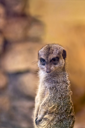 he: A meerkat watching the zoo visitors very closely. He is at the Tallinn zoo in Estonia.